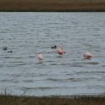 Nee het is niet Avifauna in Alphen. Toch echt flamingo's hier!